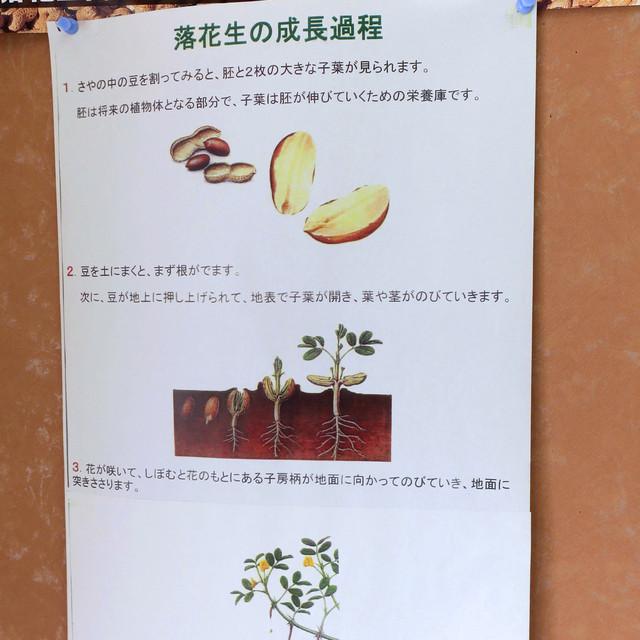 いとうのピーナツ - 落花生の成长过程