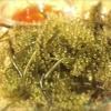 我如古 - 料理写真:石垣島産「海ぶどう」ツル付きの新鮮海ぶどう