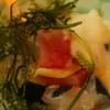海八 - 料理写真:お刺身ぶつ切りと海ブドウと山芋を混ぜて食べる八重山ばくだん