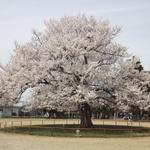 お花見間近  「桜」と「お蕎麦」のコンチェルト  in福井県
