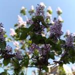 【秋田市】桐の花の香りに誘われて【川反ロマン】