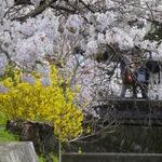 そうだ、春の京都へ行こう!京都・桜の名所と美味しいもの☆☆☆白川疎水を巡る♪