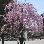 【東京】城東の下町でお花見と組み合わせたいグルメ