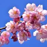 [京都] お弁当持って花見に出かけよう!