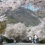 そうだ、春の京都へ行こう!京都・桜の名所と美味しいもの☆☆☆嵐山で花見♪