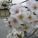 そうだ、春の京都に行こう!京都・桜の名所と美味しいもの☆☆☆京都御苑で花見♪NO.1