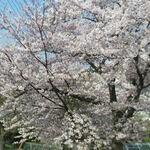 伊豆高原桜並木通りでお花見したあとお食事したいお店