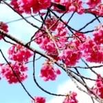 【名古屋】早咲き桜を愛でながらレストランへGO~✿