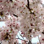 千葉市内の花見を楽しめる公園と園内(公園周辺)の飲食店