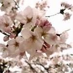 【大阪市】日本さくら名所100選でお花見&グルメを楽しむ