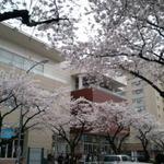 【たまプラーザ】は街中でお花見が楽しめます 4日5日は『桜まつり』が開催されます