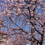 今が見ごろ!名古屋 大寒桜並木の花見を満喫☆