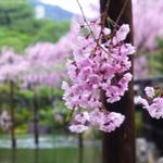 【京都】で花見♪おすすめエリアと、お店(^_−)−☆