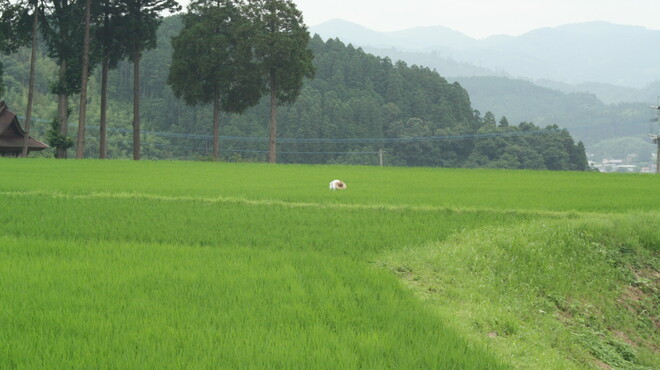 七輪焼肉ふくの牛 - 料理写真:九重連峰のふもとの大分県玖珠地方は、水が大変きれいな地域で、甘みと粘りがあるヒノヒカリを使用。