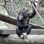 ズーカフェ - チンパンジーの赤ちゃん