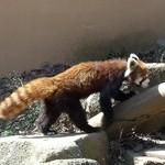 ズーカフェ - レッサーパンダ(千葉市動物園)