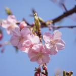 102655772 - 庭園に咲いていた                       早咲きの桜