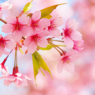 ~春限定・桜カクテル4種~