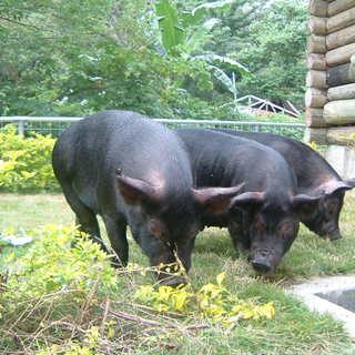 沖縄生産者から届きました、豚皮付きサムギョプサル!