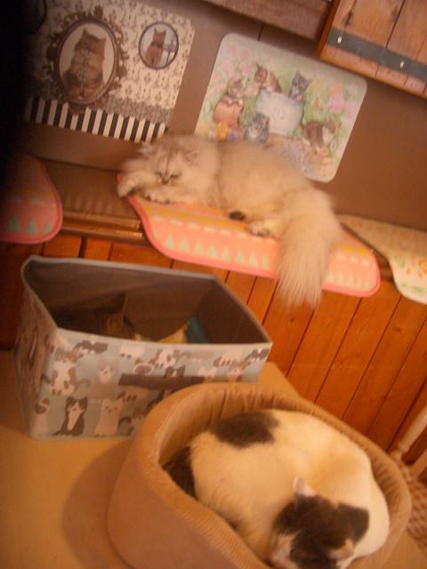 猫カフェ天使のこねこネコ - ルミエール「きょうもねてるニャ」 ウィリアム「ねこはねるのがしごとニャ」