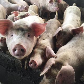 青森の大自然が育んだ長谷川の自然熟成豚