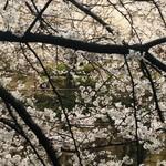 104515085 - 目黒川の桜