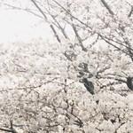 104515088 - 目黒川の桜