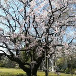 Cafe&Deli COOK - 六義園正門すぐの立派なしだれ桜