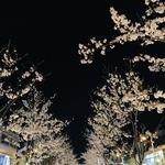 喫茶モア - 段葛からの夜桜