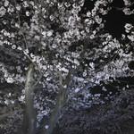 喫茶モア - 逗子ハイランドの桜並木