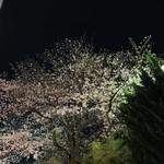 喫茶モア - 鎌倉駅地下道を裏駅出口から見上げた桜