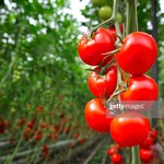 高知産 狼桃トマト