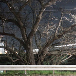 多摩川ダイナー - 多摩川の河川敷で咲く桜