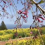 一夜城 ヨロイヅカ・ファーム - 枝垂桜と菜の花