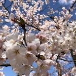 日乃出寿し - その他写真:高岡城址の桜