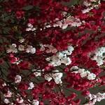 105371696 - 私が撮った花桃の写真