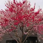 105371942 - 友人が送ってくれた花桃の写真