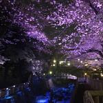 105380307 - 幻想的な音無親水公園の桜
