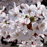 105421304 - 桜