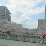 リバーサイドカフェ - おまけ・富山松川べりの桜