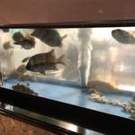 鮨・割烹 花絵巻 - 水槽の魚♪