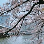 105857561 - 大川の桜