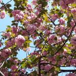 ラーメン二郎 - 八重桜