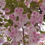 ラーメン二郎 - バラのような美しさ