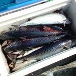 四季酒菜 かえん - 沼津に釣行。このときはソウダガツヲがクーラーに入らないぐらい釣れました。