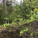 聚洸 - 参考写真、花山椒の木