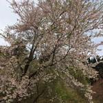 106939941 - 令和の桜