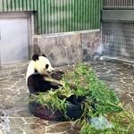 なんじゃろ - 王子動物園のパンダ