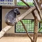 なんじゃろ - コアラ