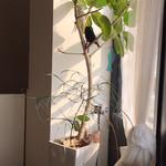 ハタヤ - 植物